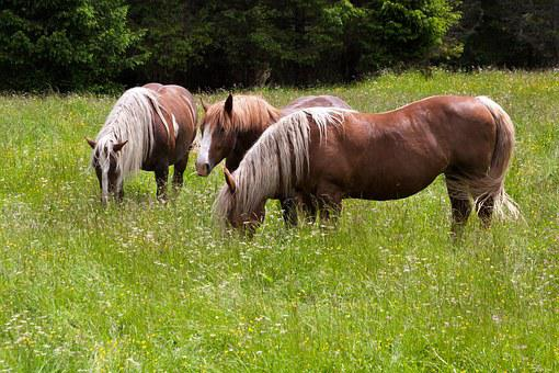 Horse, Haflinger, Pasture, Meadow, Graze, Coupling