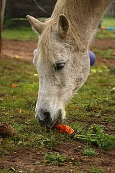 Mold, Horse, Thoroughbred Arabian, Carrot, Carrots, Eat