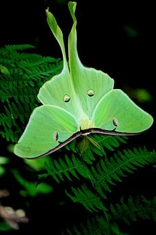 Moth, Green, Nat, Nature, Butterfly