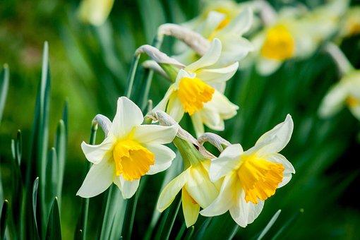 Daffodil, Flower, Nature, Spring, White, Yellow Flower