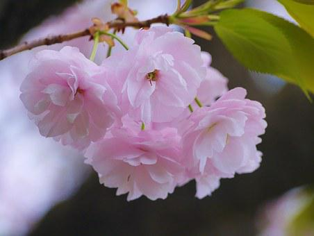 Cherry Blossoms, Double Cherry Blossoms, Pink, Green