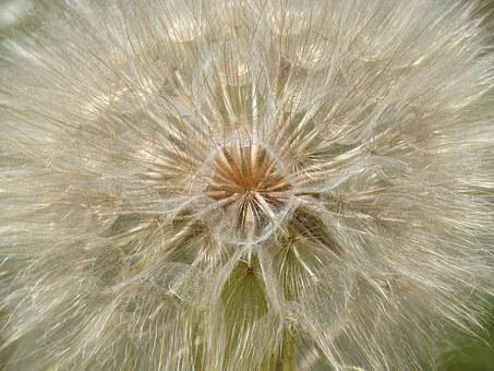 Dandelion, Plant Architecture, Vegeta Geometry