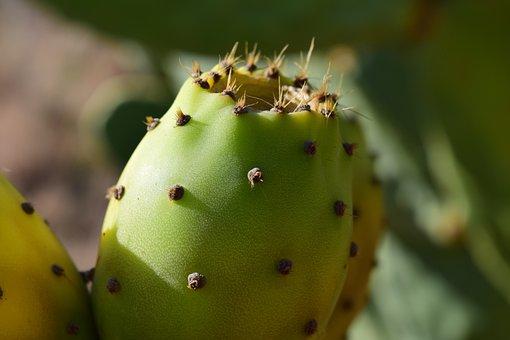 Prickly Pear, Ripe, Summer, Prickly, Plant