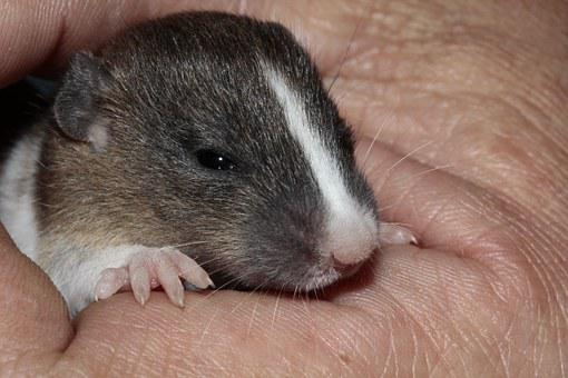 Rat, Baby, Cute, Protection, Heat, Face, Sweet