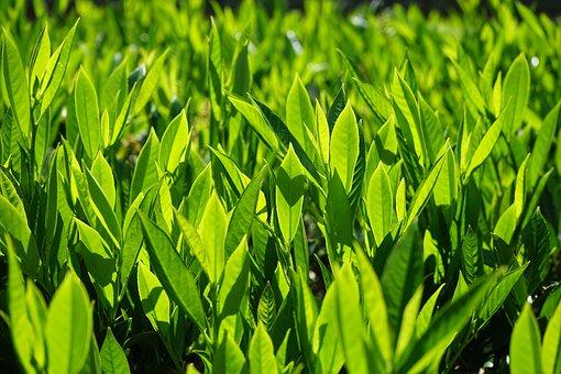 Prunus Laurocerasus, Bush, Leaves, Green, Backlighting