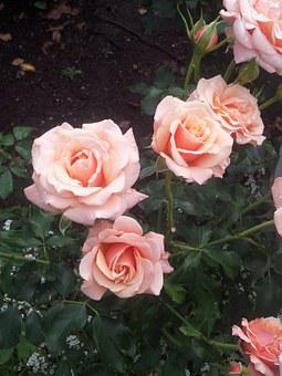 Roses, Pink, Blossoms, Blooms, Blooming, Leaves, Green