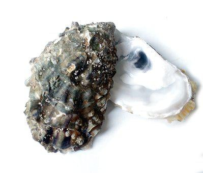 Oyster, Eat, Sea, Delicacy, Gourmet, Mussels, Seafood