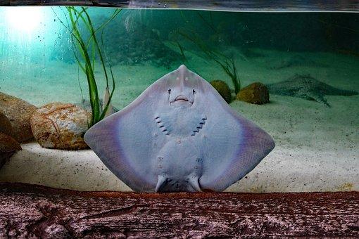 Sting Ray, Flat Fish, Sting, Ray, Fish, Flat, Sea