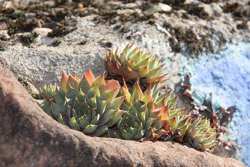 Stone Plants, Houseleek, Plant, Stones, Stone Garden