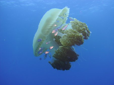 Underwater Water, Jelly Fish, Jellyfish, Ocean, Aquatic