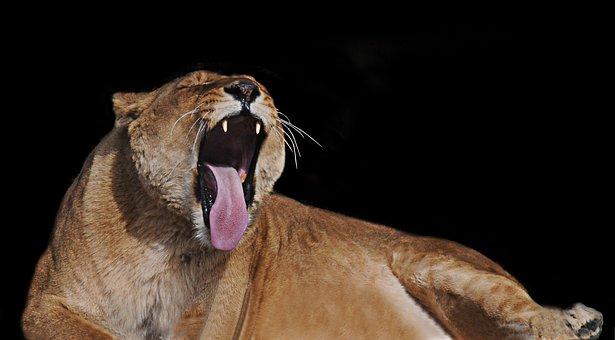 Lioness, Feline, Tawny, Animal, Africa, Wild Animal