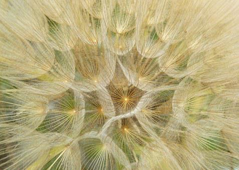 Dandelion, Plant Architecture, Seeds, Wind