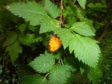 Wild Berry, Berry, Yellow, Raspberry, Edge Of The Woods