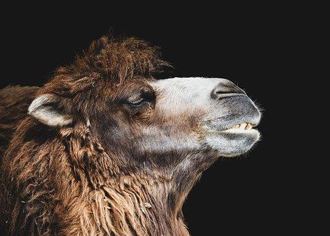 Camel, Head, Portrait, Animal, Animal Portrait