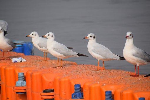Seagulls, Sitting, Birds, Seagull, Nature, Animal