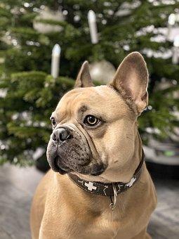 Christmas, Dog, Background, French Bulldog, Sweet, Cute