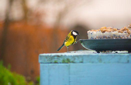Big Tit, Feeding, Bird, Yard, Songbird, Wildlife