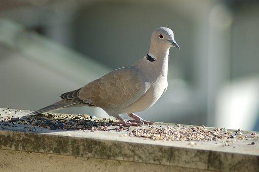 Collared Dove, Bird, Doves, Dove, Ornithology