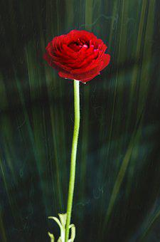 Flower, Plant, Rose, Bloom, Blossom, Nature, Botany