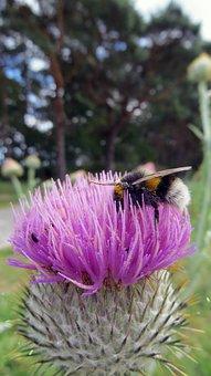 Thistle, Blossom, Bloom, Hummel, Sprinkle, Nectar
