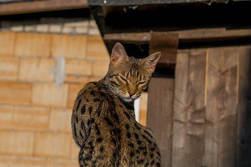 Bengal, Cat, Cat's Eyes, Cuddly, Sweet, Tiger