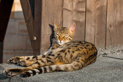Bengal, Cat, Eyes, Mackerel, Cat's Eyes, Wildcat, Sweet