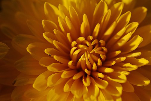 Chrysanthemums, Macro, Yellow, Blossom, Bloom, Flower