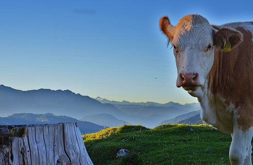 Cow, Mountains, Alpine, Meadow, Cattle, Livestock