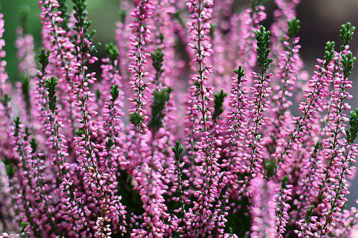 Heather, Erika, Autumn, Pink, Nature, Ericaceae, Close