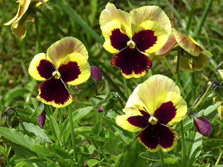 Violets, Pansies, Viola, Bloom, Nature, Flora, Petals