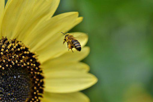 Bee, Honey Bee, Insect, Flight, Flying, Sunflower