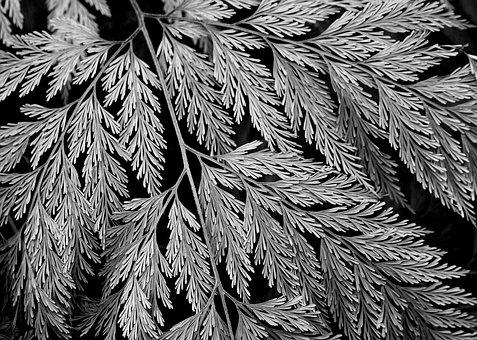 Fern, Leaves, Foliage, Black And White, Pattern