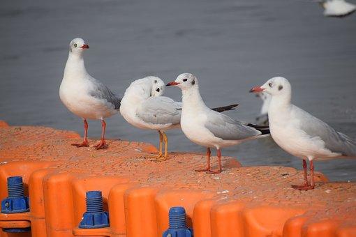 Seagulls, Birds, Sea, Flight, Animal, Nature, Gull