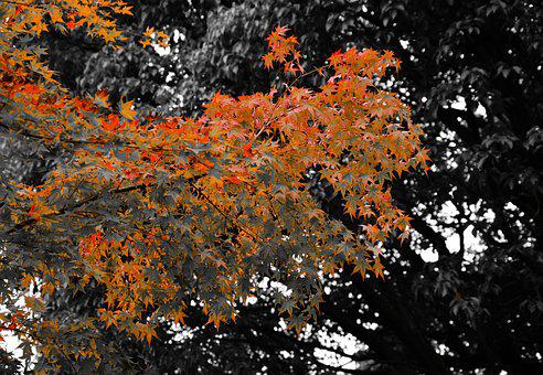 Maple, Autumn, Leaves, Nature, Fall, Leaf, Red, Season
