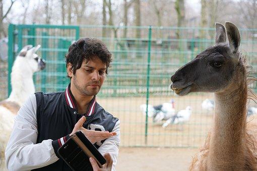 Friends, Llama, Animal, Livestock, Funny, Face, Nature