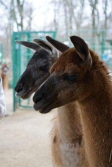 Llama, Animal, Livestock, Funny, Face, Nature, Lama