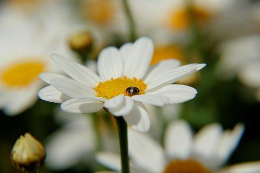 Marguerite, Leucanthemum Vulgare, Flower, Plant