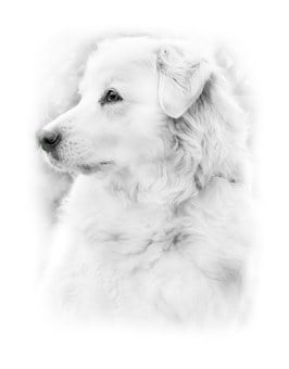 Dog, German Shepherd, Animal, Meadow, Grass, Coat, Paw
