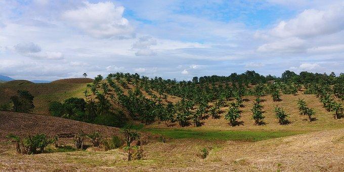Philippines, Fields, Bananas, Banana Box, Plantation