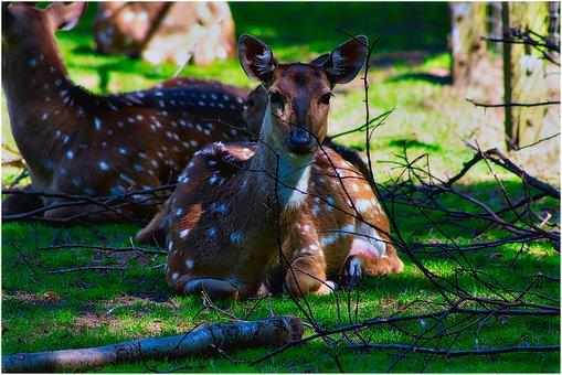 Roe Deer, Enclosure, Wild, Zoo, Wildlife Park, Nature