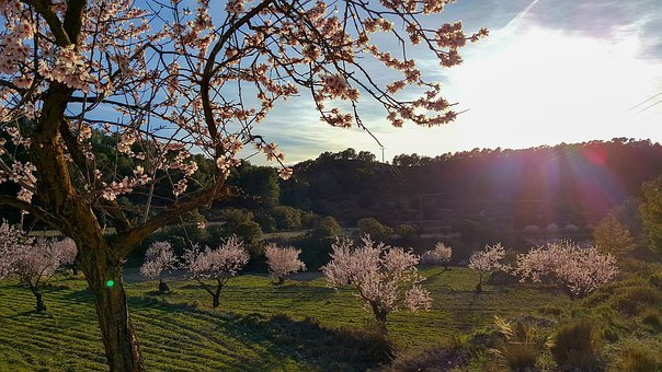 Almond Tree, Landscape, Nature, Spring, Flowers, Trees