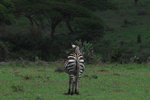 Zebra, Safari, Africa, Nature, Wildlife, Wild, Stripes
