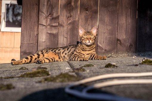 Bengal, Cat, Tiger, Mackerel, Kitten
