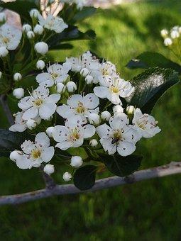Hawthorn, Tree, Flower, Spring, White Blossom