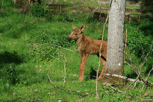 Moose Calf, Sweden, Young Animal, Young, Moose Child