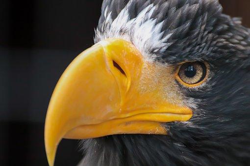 Adler, Bird Of Prey, White Tailed Eagle, Giant Eagle
