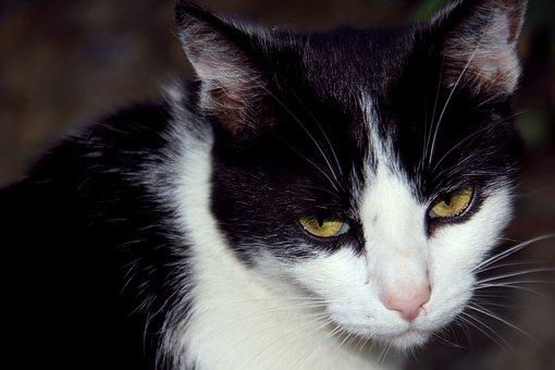 Cat, Animal, Pet, Portrait, Domestic, Adorable