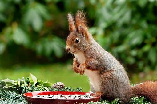Animal, Rodent, Mammal, Squirrel, Scirus Major