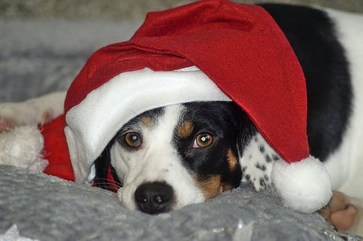 Christmas, Dog, Nice, Cute, Pet, Winter, Funny, Animal