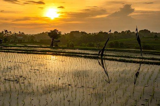 Rice Field, Sunset, Field, Bali